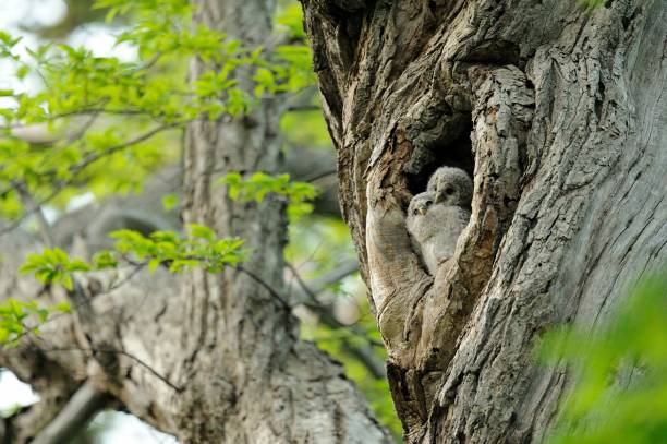 Owls in tree hollow