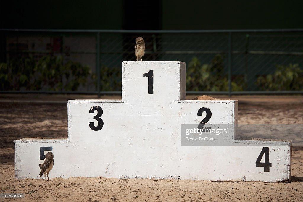 Owls on winner podium : Stock Photo