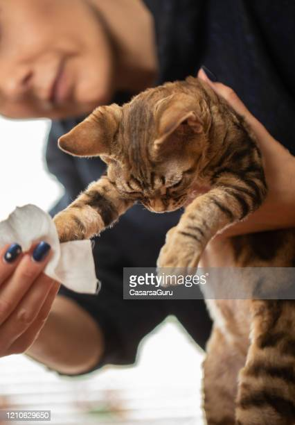 owner cleaning dirty kitten paws after using litter box - stock photo - paw stock pictures, royalty-free photos & images