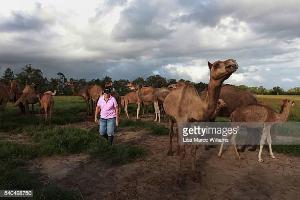 Owner Lauren Brisbane checks on her herd of camels at QCamel dairy on April 5 2016 in Sunshine Coast Australia QCamel founded by Lauren Brisbane and...