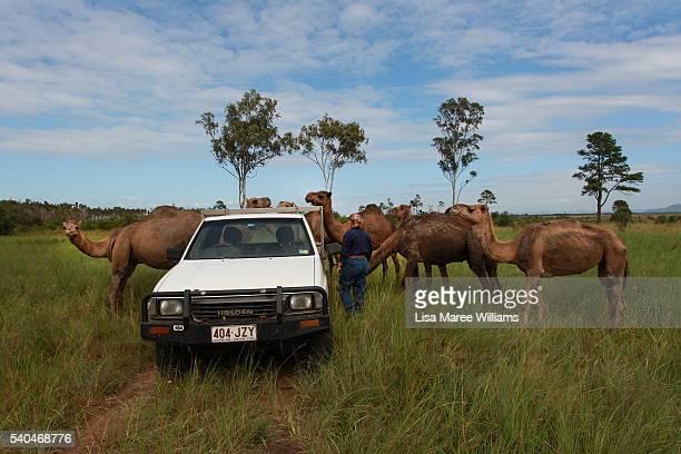 Owner Lauren Brisbane checks on her pregnant camels at QCamel dairy on April 5 2016 in Sunshine Coast Australia QCamel founded by Lauren Brisbane and...