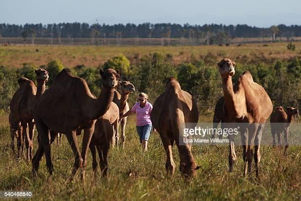 Owner Lauren Brisbane walks with her herd of camels at QCamel dairy on April 6 2016 in Sunshine Coast Australia QCamel founded by Lauren Brisbane and...