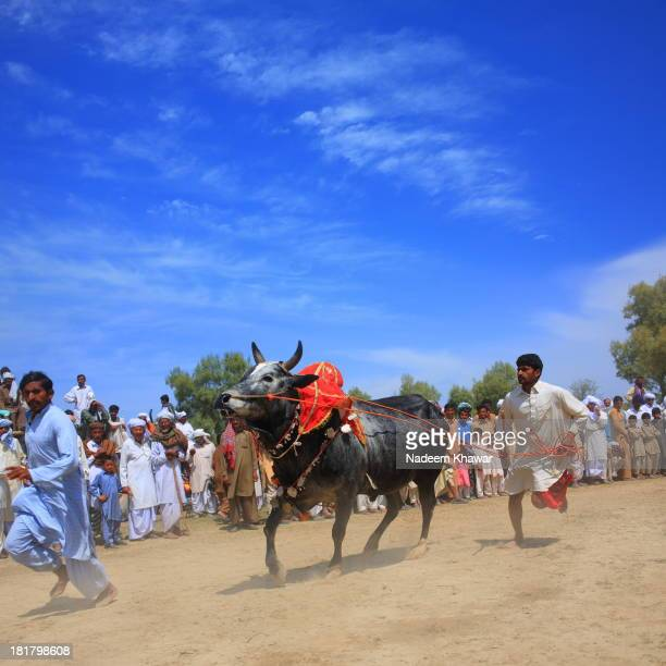 CONTENT] A owner of the Bull running with him According to the local culture farmers show the power of his beasts at festivals to impress others