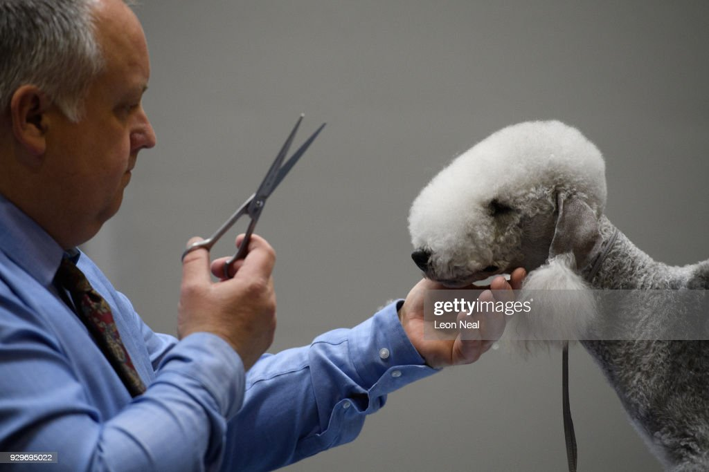 Owner Richard Peterson grooms his Bedlington Terrier 'Sharnor High Intensity' ahead of judging on day two of the Cruft's dog show at the NEC Arena on March 9, 2018 in Birmingham, England. The annual four-day event sees around 22,000 pedigree dogs visit the centre, before the 'Best in Show' is awarded on the final day.