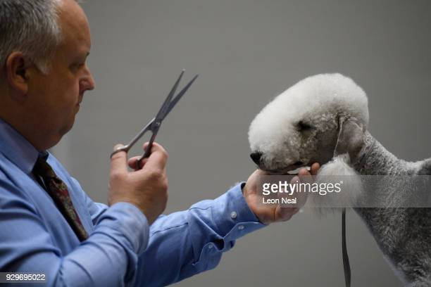 Owner Richard Peterson grooms his Bedlington Terrier Sharnor High Intensity ahead of judging on day two of the Cruft's dog show at the NEC Arena on...