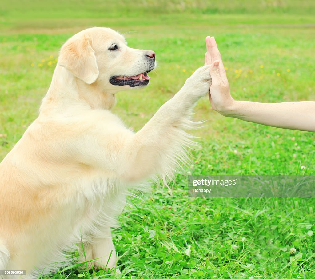 Owner training Golden Retriever dog on grass, giving paw : Stock Photo