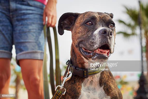 owner walking dog - boxer dog stock pictures, royalty-free photos & images