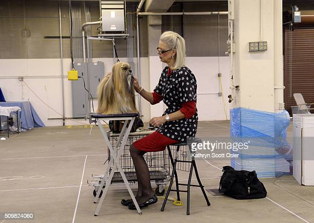 """Owner/handler Bev Adams-Zeiler of Centennial spends what will end up being about eight hours, carefully grooming Lhasa Apso """"Johnny Depp"""" for his..."""