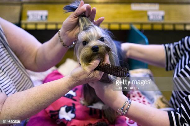 Owners groom their Terrier on the first day of the Crufts dog show at the National Exhibition Centre in Birmingham central England on March 10 2016 /...
