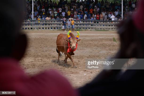 Owners of a winning fighting bull pose with their bull at arena in Nakhon Si Thammarat Province Thailand on January 20 2018 Bullfighting is a popular...