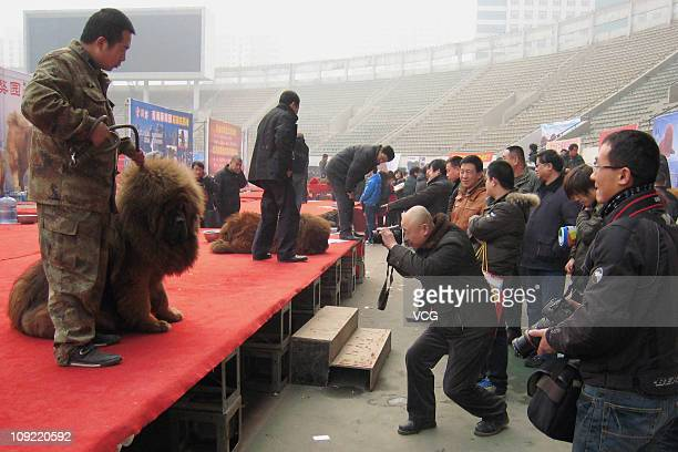 Owners prepare their Tibetan mastiffs during the China Northern 2011 Tibetan Mastiff Exposition at Yutong International Sports Centre on February 16...