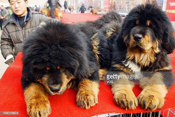 Owners show their Tibetan mastiffs on the stage during the China Northern 2011 Tibetan Mastiff Exposition at Yutong International Sports Centre on...