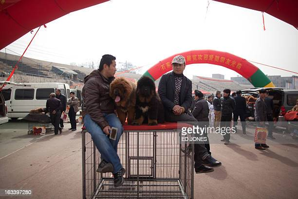 Owners sit with their Tibetan mastiff dogs displayed at a show in Baoding Hebei province south of Beijing on March 9 2013 Fetching prices up to...