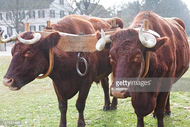 ox and yoke - wild cattle stock photos and pictures
