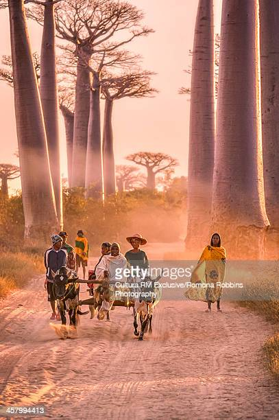 Ox cart on The Avenue of the Baobabs, Menabe, Madagascar, Africa