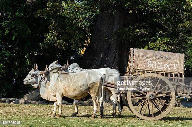 ox cart taxi on field - ox cart stock photos and pictures