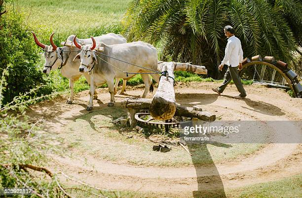 Ox Driven Watel Wheel in India
