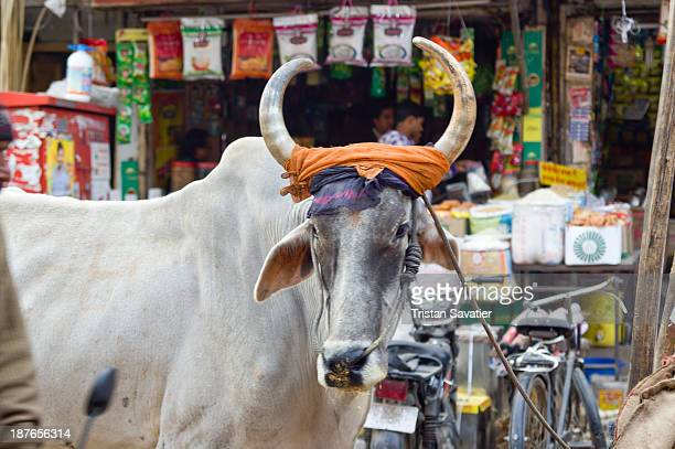Ox in a market street in Delhi. This one was used to pull a cart with cargo. Cows and Oxes are common sight in India's cities. Other keywords:...