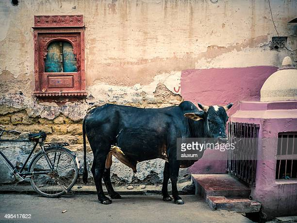 ox in bikaner rajasthan india - wild cattle stock photos and pictures