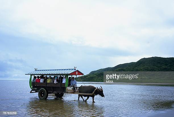 Ox wagon in Iriomote Island, Okinawa Prefecture, Japan