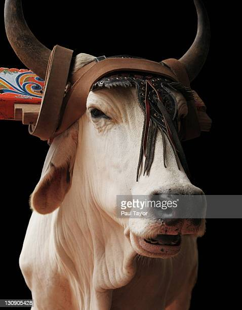 ox with yoke - yoke stock photos and pictures