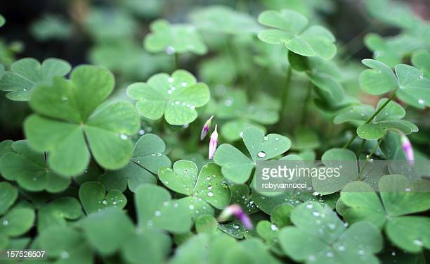 HD oxalis leaves background