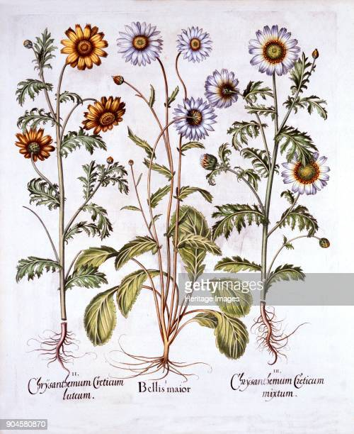 Oxe Eye Daisy and Crown Daisy from 'Hortus Eystettensis' by Basil Besler pub 1613 h I Bellis maior now Leucanthemum II Chrysanthaemum Creticum luteum...