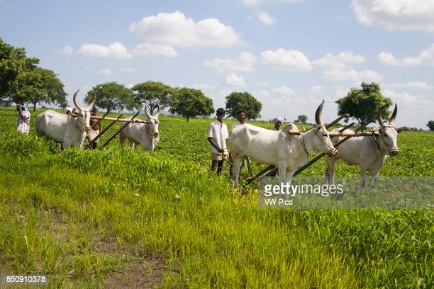 Oxen and farmers ploughing a field Tamil Nadu India