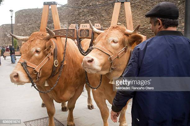 oxen and vintage livestock yoke during a parade. - wild cattle stock photos and pictures