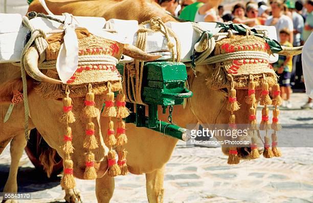 oxen dressed up for celebration of virgin mary, benalmadena, spain - ox cart stock-fotos und bilder