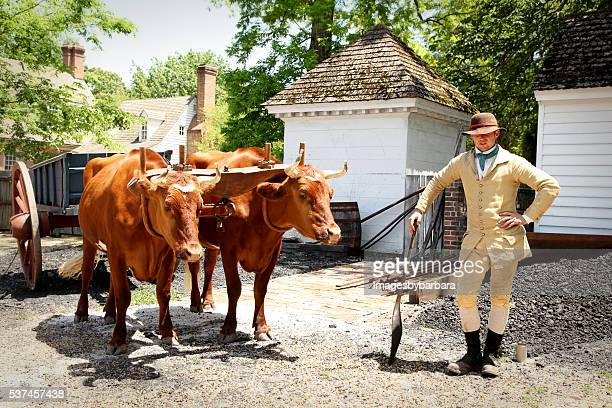oxen handler - wild cattle stock photos and pictures