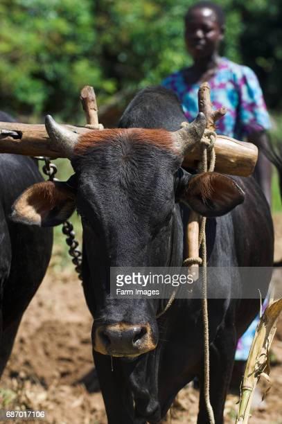 Oxen in yoke on farm ploughing Mbale Uganda Africa
