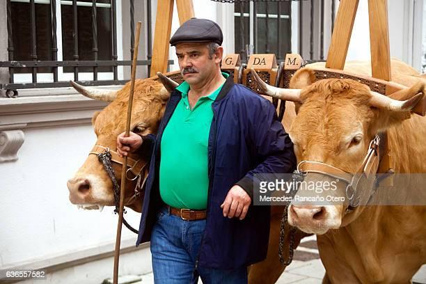 Oxen, livestock yoke and farmer during a street parade.