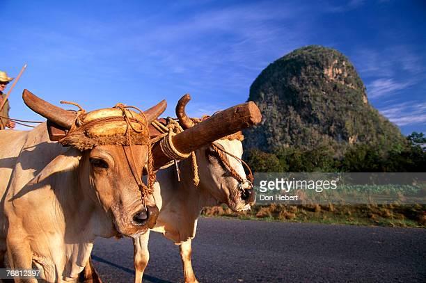 oxen pulling cart - ox cart stock-fotos und bilder