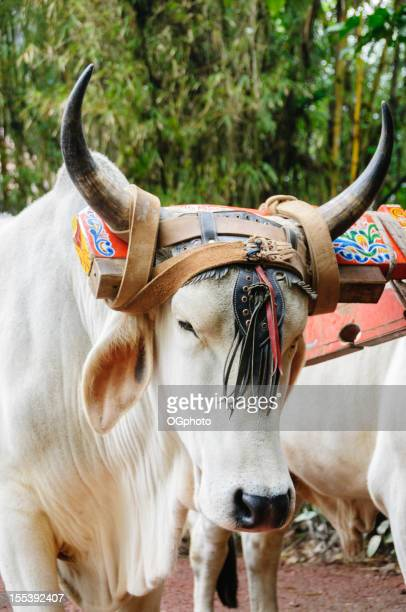Oxen with colorful yoke