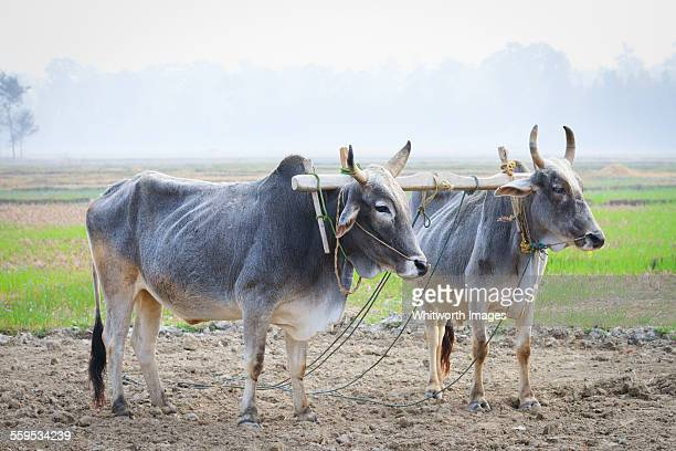 oxen yoked for ploughing in terai region of nepal - wild cattle stock photos and pictures