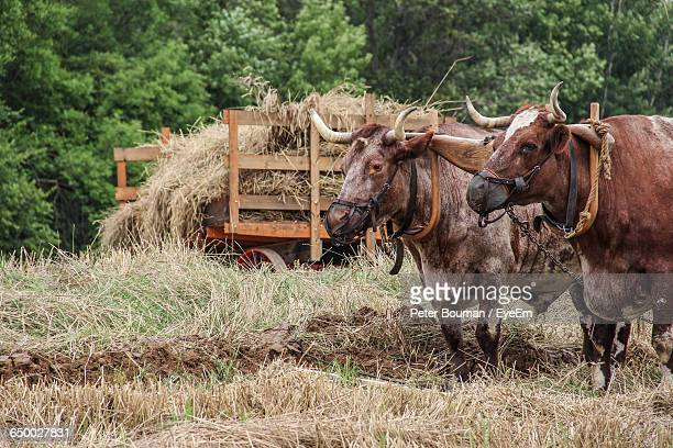 oxen yoked for plowing in farm - yoke stock photos and pictures