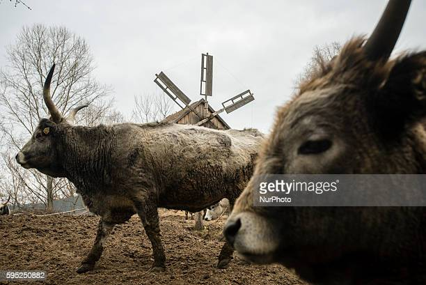 Oxes in traditional farm in the Mamayeva Sloboda openair museum Kyiv Ukraine on March 13 2016