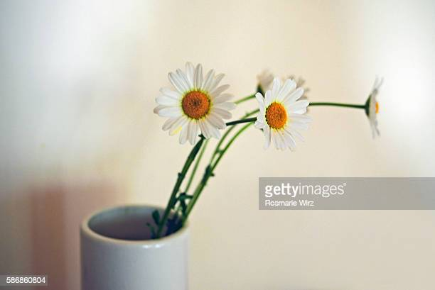 ox-eye daisies in a white vase - asymmetry stock pictures, royalty-free photos & images