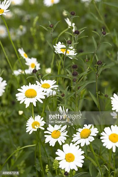 Oxeye Daisies, Leucanthemum vulgare, herbaceous perennials in wildflower meadow in the UK