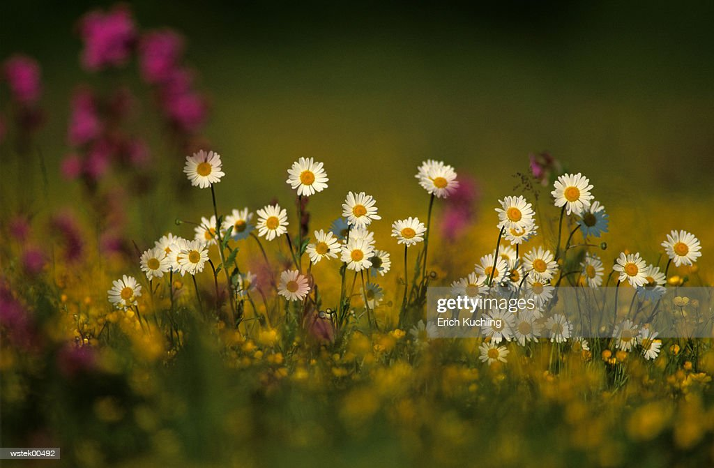 Oxeye daisy in field, close up : Stock Photo
