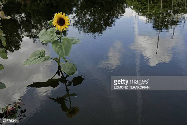 Oxford, UNITED KINGDOM: A sunflower is seen at the Osney Allotments in Oxford 27 July 2007 after the River Thames burst its banks in the city due to...