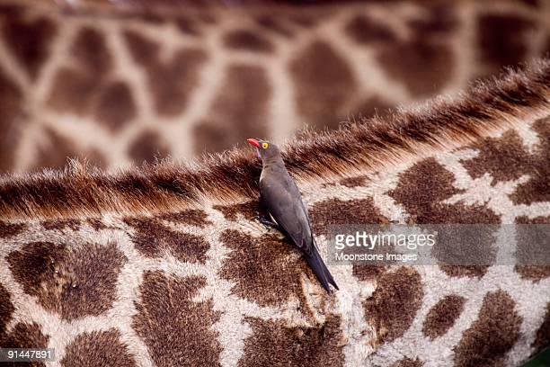 Oxpecker on giraffe in Kruger Park, South Africa