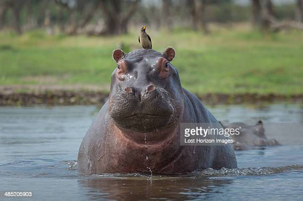 Oxpecker on Hippo's head  (Hippopotamus amphibius)