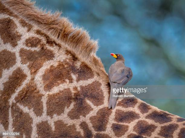 Oxpecker on masai giraffe