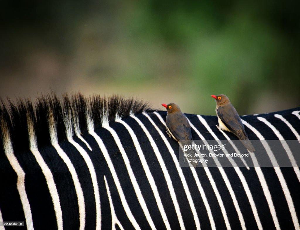 Oxpeckers on Grevy's Zebra at Samburu, Kenya : Stock Photo