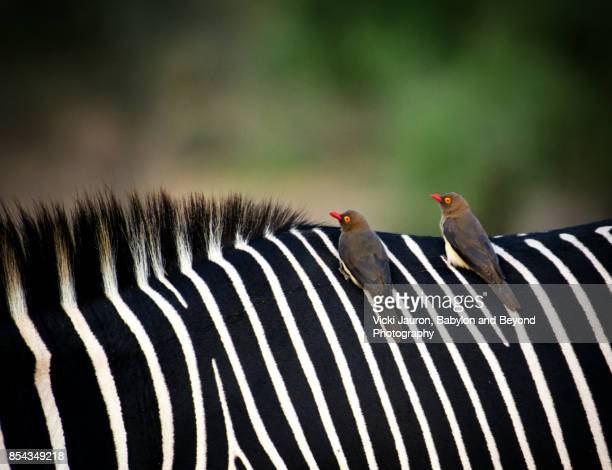 Oxpeckers on Grevy's Zebra at Samburu, Kenya