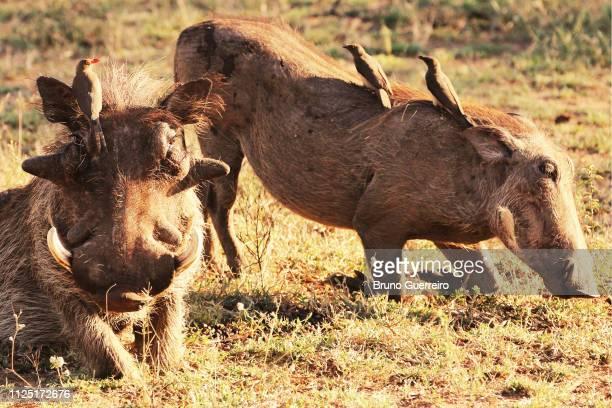 oxpeckers perching on warthogs while feeding - facocero foto e immagini stock