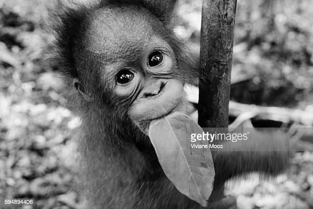 Oyoi an orangutan at the Nyaru Menteng Reintroduction Center learns to climb and carry his food at the same time