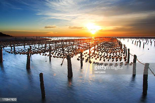 Oyster farm on beach during sunset